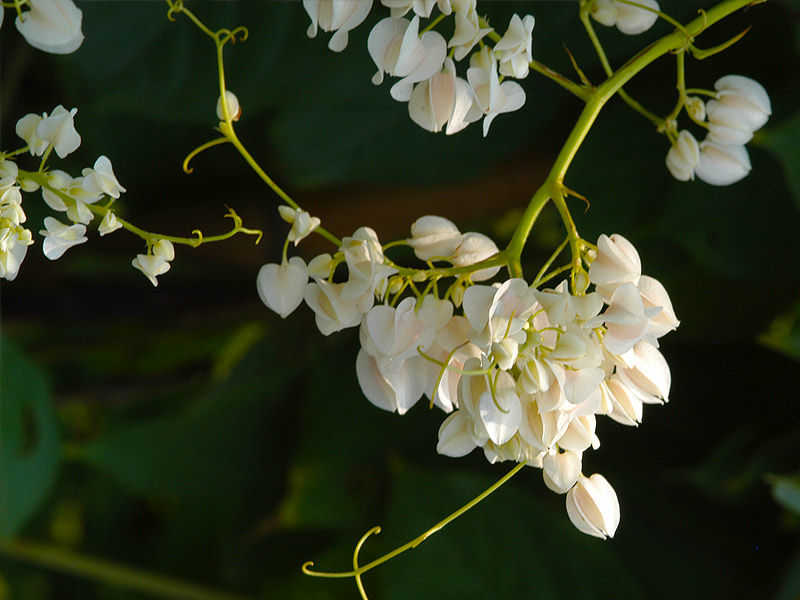 antigonon_leptopus_white